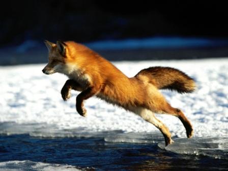 zorro rojo saltando