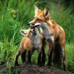 zorro rojo y cria
