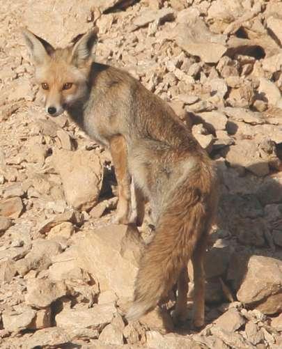 zorro fenec o del desierto