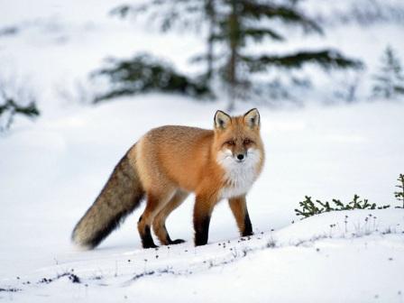 zorro rojo en invierno