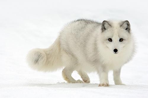zorro artico